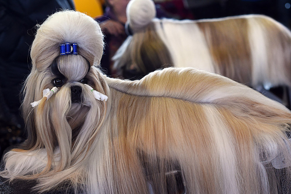 Westminster Kennel Club 2015